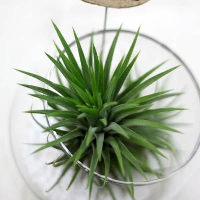 공기정화식물-에어플랜트글라스