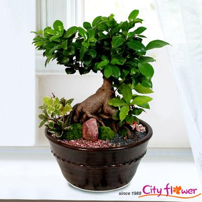 인삼벤자민(Ficus benjamina)