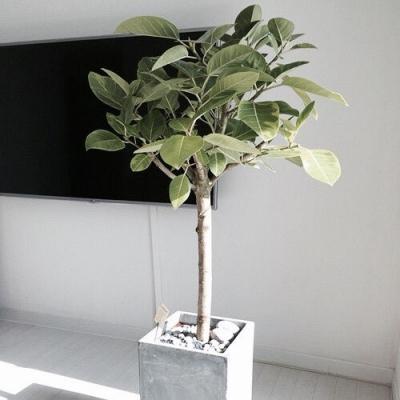 인테리어 뱅갈고무나무(라피네플라워가든)