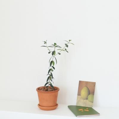 키우기 쉬운 올리브나무