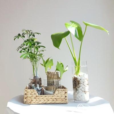 수경재배 공기정화식물 기획전 - 사파이어,행운목,홍콩야자,몬스테라