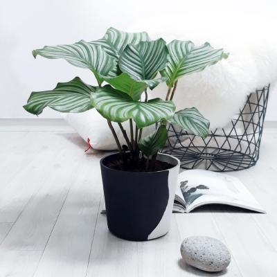 tropical leaf 칼라데아 오르비폴리아 중대형