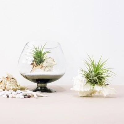 공기정화식물 틸란드시아 이오난사 뿔소라 세트