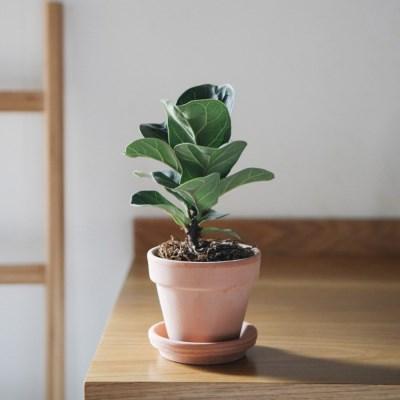실내정화식물 떡갈고무나무