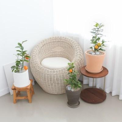 플라랜드 오렌지나무 인테리어화분 공기정화식물
