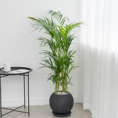 플라랜드 공기정화식물 중형 아레카야자 FRP원형 인테리어화분