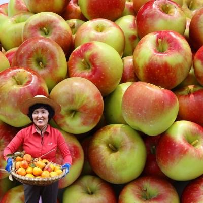 경북 상주 더상큼 부사 사과 ( 19과~22과 5kg )