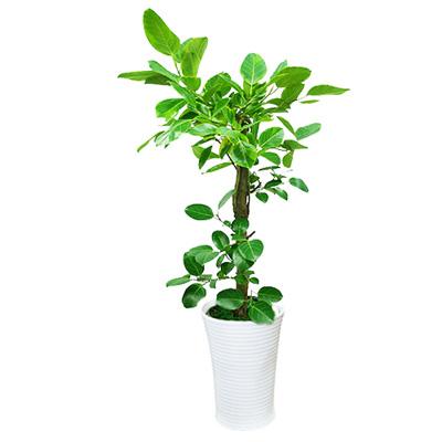 [전국당일배송] 뱅갈고무나무