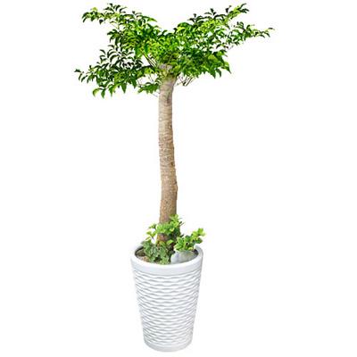 [전국당일배송] 행복나무(해피트리)