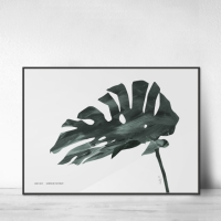 Monstera no.02