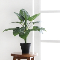 알로카시아 블랙 pot(50cm)