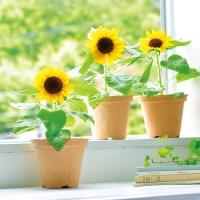 세이신 미니해바라기 키우기 / Smile SunFlower