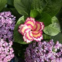 스프레이 카네이션 spray carnation