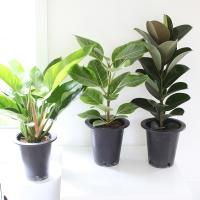 중형공기정화식물(고무나무&콩고)