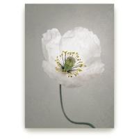 Single White Poppy