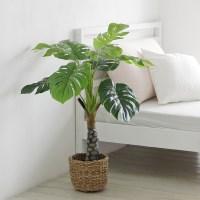 몬스테라조화나무