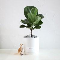 공기정화식물 떡갈 고무나무