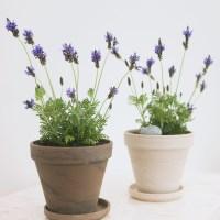 아마란스 공기정화 식물 라벤더 소형 독일 토분 세트