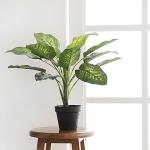 디펜바키아 블랙 pot(50cm)