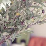 올리브열매가지