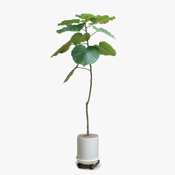 하트모양의 큰잎이 싱그러운 [키다리 휘쿼스 움베르타]
